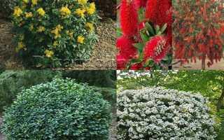 Растения полукустарники: многолетние, вечнозеленые – названия и фото, посадка и уход