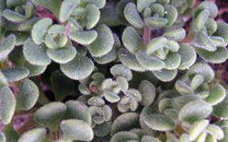 Цветок Аихризон: уход в домашних условиях, фото, пересадка, размножение дерева любви