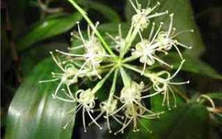Чем отличает драцена от кордилины, как определить растение