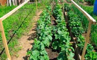 Овощ огурец: посадка и уход в открытый грунте, выращивание рассады из семян, фото