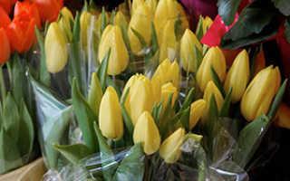 Как вырастить тюльпаны в теплице к дате – 14 февраля или 8 марта