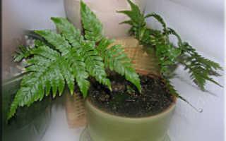 Семейство Птерисовых растений: список, описание, роды и виды