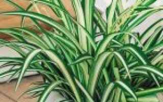 Хлорофитум хохлатый – уход, размножение, подкормка, подбор почвы