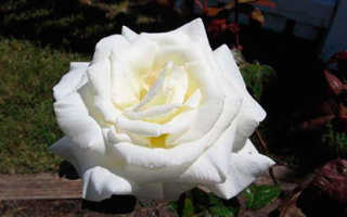 Лучшие сорта и гибриды белых роз