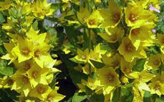 Семейство Первоцветных (Примуловых) растений: список, описание, роды и виды