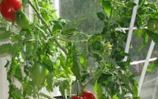 Помидор: посадка и уход в открытом грунте, выращивание рассады из семян, фото