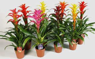 Цветок Гузмания: уход в домашних условиях, фото, размножение, пересадка, виды