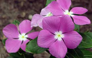 Семейство Кутровых растений: список, описание, роды и виды