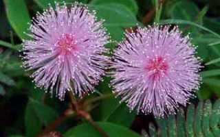 Цветок Мимоза: уход в домашних условиях, фото и виды, размножение и пересадка
