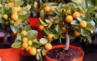 Растения рода Цитрус: особенности выращивания, виды, свойства и противопоказания