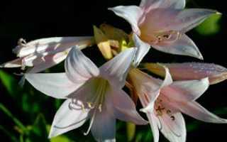 Семейство амариллисовые – особенности, отличия, растения семейства