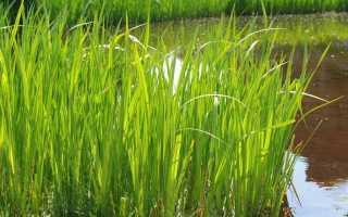 Правила ухода, описание с фото Аира болотного, обыкновенного, злакового