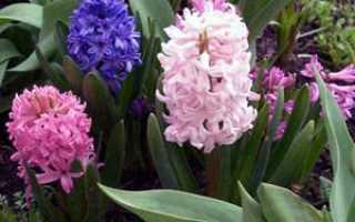 Гиацинт домашний – выращивание: посадка, выгонка. Гиацинт после цветения