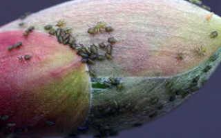 Народные методы борьбы с тлей, признаки поражения растений, профилактика появления