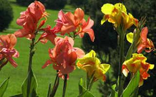 Семейство Канновых растений: список, описание, роды и виды