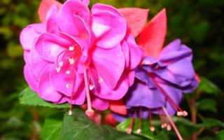 Комнатная Фуксия: выращивание и уход, полив, обрезка, пересадка, подкормка