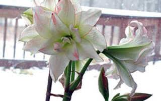 Уход за амариллисом (гиппеаструмом) после цветения, зимовка