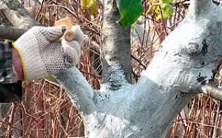 Побелка деревьев осенью: когда, зачем и чем белить плодовые