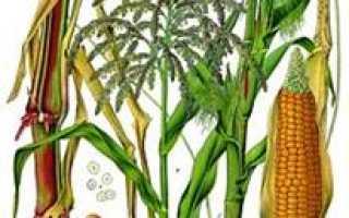Семейство Мятликовых (Злаковых) растений: список, описание, роды и виды