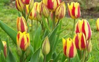 Секреты выращивания тюльпанов – посадка и уход за тюльпанами в саду