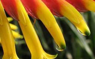 Цветок вриезия: уход в домашних условиях, фото и виды, пересадка и размножение