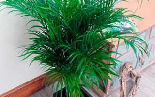 Семейство Пальмовых растений: список, описание, роды и виды