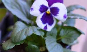 Как Виола стреляет семенами