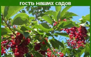 Растение черемуха: посадка и уход в открытом грунте, фото, полезные свойства и противопоказания