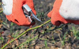 Обрезка роз – когда и как обрезать розы; правила обрезки роз