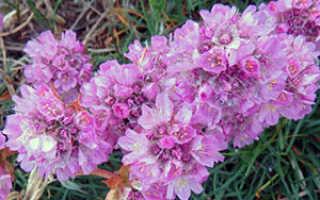 Семейство Свинчатковых растений: список, описание, роды и виды