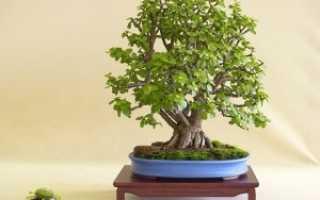 Комнатные растения – деревья, их виды и разновидности, пересадка