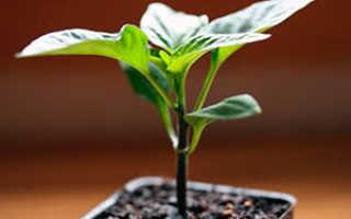 Как вырастить здоровую рассаду перца: посев семян, уход, подкормка