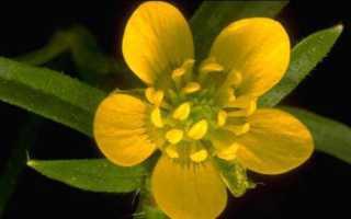 Семейство Лютиковых растений: список, описание, роды и виды
