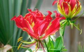 Цветок Глориоза: уход в домашних условиях, фото и виды, выращивание из семян