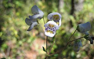 Семейство Кальцеоляриевых растений: список, описание, роды и виды
