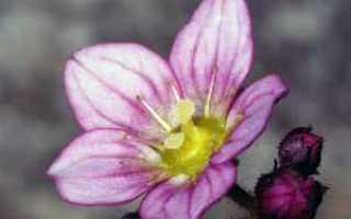 Цветок камнеломка: уход в домашних условиях, фото и виды, выращивание из семян