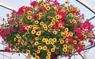 Ампельные растения – выращивание и формировка: где разместить, какие цветы выращивают как ампельные, трудности