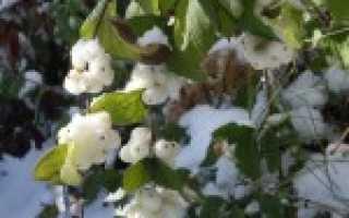 Цветок снежноягодник: посадка и уход в открытом грунте, фото, стрижка и размножение