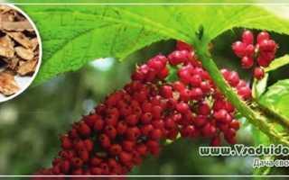 Растение Заманиха – выращивание: размножение, полив, виды, лечебные свойства