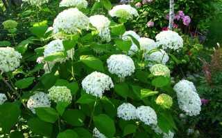 Гортензия древовидная – уход: полив и размножение, обрезка, посадка и срез на букет