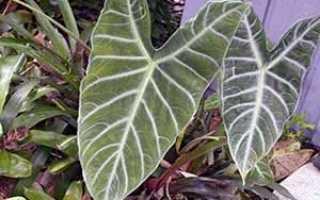 Цветок Алоказия: уход в домашних условиях, фото, виды, размножение и пересадка
