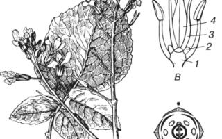 Растения семейства Капустные (Крестоцветные): особенности выращивания, виды