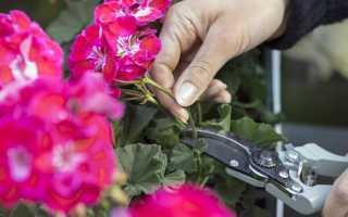 Цветок Герань: уход в домашних условиях, фото, размножения, пересадка и обрезка