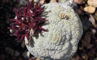 Особенности Псевдолитоса: уход и выращивание, виды