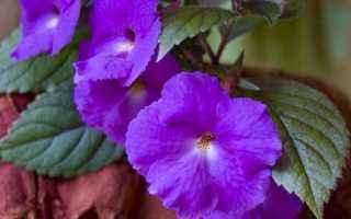 Правила ухода, описание с фото Ахименеса длинноцветкового и крупноцветкового