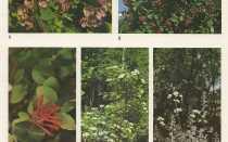 Семейство Жимолостных растений: список, описание, роды и виды
