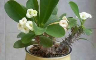 Цветок Молочай в домашних условиях: уход, размножение, фото, виды