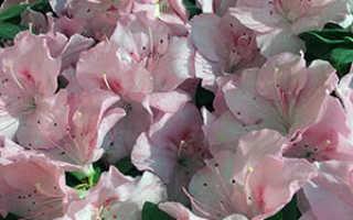 Семейство Вересковых растений: список, описание, роды и виды
