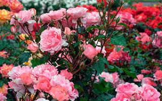 Информация о розах: выращивание и фото