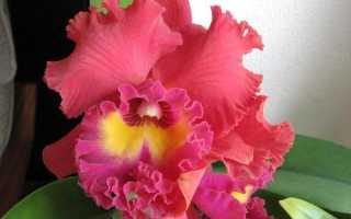 Орхидея Каттлея: уход в домашних условиях, фото, размножение, пересадка, сорта